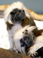 tamarin monkey pair