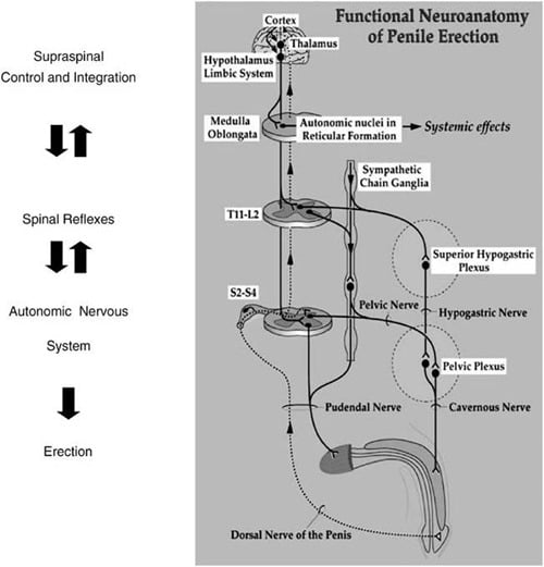 Spinal cord nerves and erection